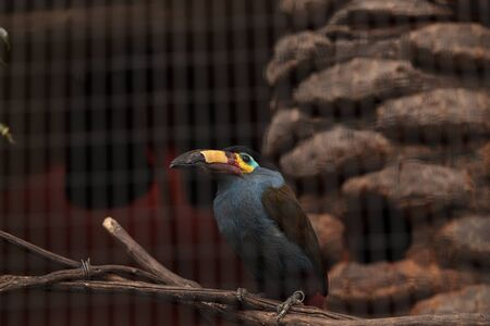 Plate-billed mountain toucan Andigena laminirostris behind the walls of a cage