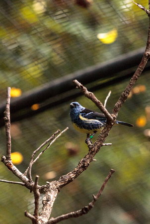 Turquoise tanager known as Tangara mexicana can be found from Venezuela to Bolvia