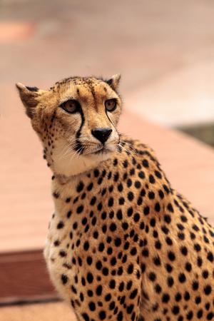 Beautiful spotted cheetah Acinonyx jubatus stands alert and watchful. Reklamní fotografie - 80353994