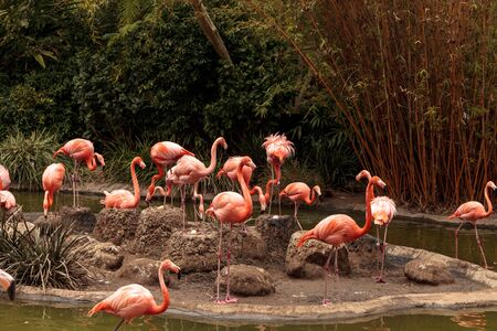Pink Caribbean flamingo, Phoenicopterus ruber, in the middle of a flock laying eggs during breeding season.