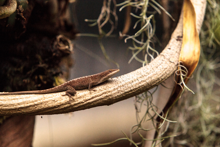 Brown anole also called the Bahaman anole or Anolis sagrei and can be found in Cuba, Bahamas and the United States
