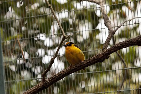 WEAVER: African golden oriole is a bright yellow bird with a black mask known scientifically as Oriolus auratus.