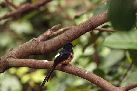 White crowned robin chat is a bird scientifically known as Cossypha albicapilla and found in Africa