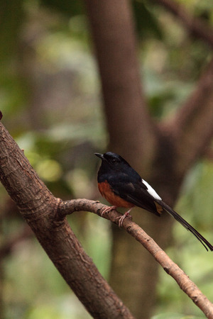 White crowned robin chat is a bird scientifically known as Cossypha albicapilla and found in Africa Фото со стока - 80354077