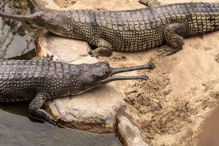 Gharial are found in India and Nepal and are scientifically known as Gavialis gangeticus.