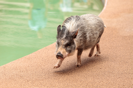 Domestic pot bellied pig Sus scrofa domesticus walks along the side of a pool Stock Photo