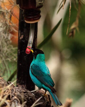 Green honeycreeper scientifically known as Chlorophanes spiza is found in the forest of South America.