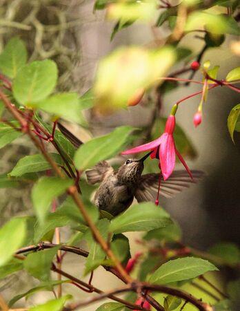 Annas Hummingbird, Calypte anna, nectars on a flower in a botanical garden in spring. Stock Photo