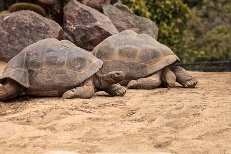 sierra: Sierra Negra Tortoise Chelonoidis nigra guntheri is part of the Galapagos Island giant tortoises.