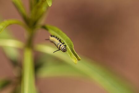 Monarch caterpillar, Danaus plexippus, in a butterfly garden on a flower in spring in Southern California, USA Stock Photo