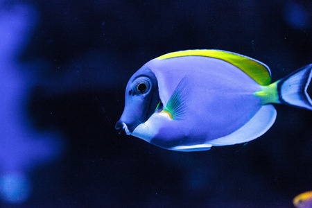 tang: Powderblue tang fish Acanthurus leucosternon on a coral reef.