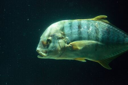 Golden Trevally fish Gnathanodon speciosus grows to be a very large fish.