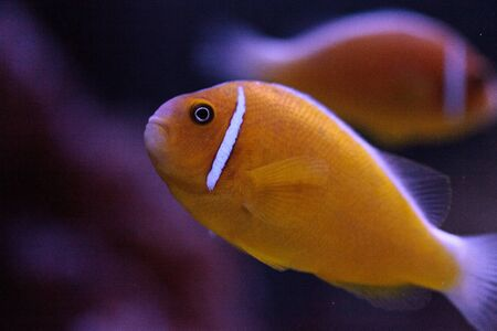 Orange skunk clownfish called Amphiprion perideraion is a species of anemonefish found in Australia