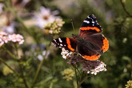 Red admiral butterfly, Vanessa atalanta, in a butterfly garden on a flower in spring in Southern California, USA