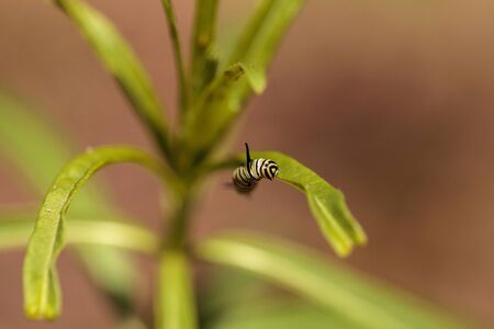 plexippus: Monarch caterpillar, Danaus plexippus, in a butterfly garden on a flower in spring in Southern California, USA Stock Photo