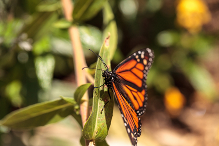 Monarch butterfly, Danaus plexippus, in a butterfly garden on a flower in spring in Southern California, USA