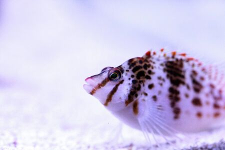 Falco hawkfish Cirrhitichthys falco perches on coral and waits for prey in a reef aquarium.
