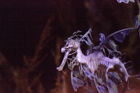 Leafy seadragon Phycodurus eques is also called Glauerts seadragon Stock fotó