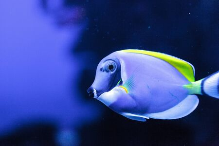 Powderblue tang fish Acanthurus leucosternon on a coral reef.