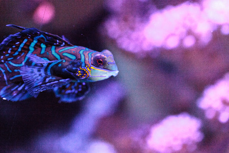 Mandarin goby is also called the Mandarin dragnet Synchiropus splandidus in a reef aquarium