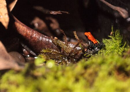 reticulata: Red-backed poison dart frog Ranitomeya reticulata found in the rainforests of South America