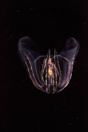 Comb jelly Phylum Ctenophora do not have stinging cells and have a simpler reproductive system than most jellies. Stok Fotoğraf