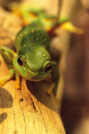 Magnificent tree frog Litoria splendida can be found in Australia and can be found in caves. Banco de Imagens