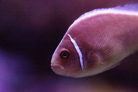 Pink skunk clownfish called Amphiprion perideraion is a species of anemonefish found in Australia Stock Photo