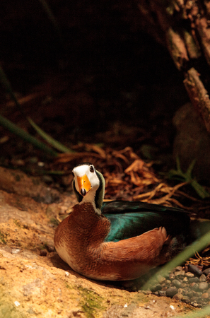 African pygmy goose Nettapus auritus is found in Central to southern Africa and Madagascar