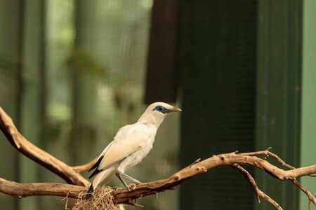 Bali myna bird Leucopsar rothschildi can be found in the woodlands on Bali, Indonesia 版權商用圖片