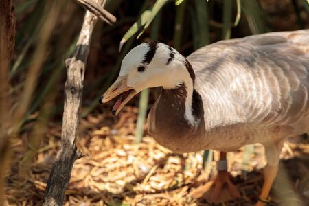 Bar-headed goose Anser indicus is found in the high mountain lakes of central Asia.