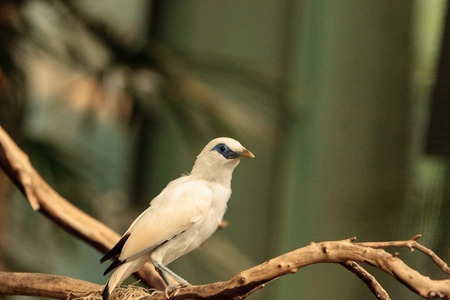 Bali myna bird Leucopsar rothschildi can be found in the woodlands on Bali, Indonesia Stok Fotoğraf