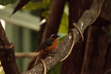 Snowy-crowned robin-chat bird Cossypha niveicapilla is found in Central Africa