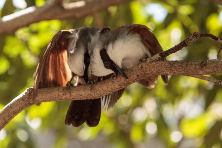 White-crested laughingthrush called Garrulax leucolophus perches in trees and hunts along the ground for food. Stock Photo