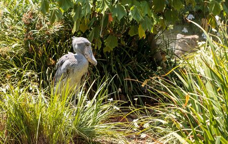 African Shoebill stork Balaeniceps rex is found in Africa in swamps from Sudan to Zambia.