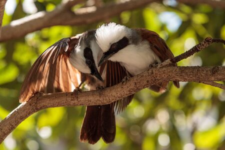 White-crested laughingthrush called Garrulax leucolophus perches in trees and hunts along the ground for food. Editorial