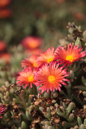 Ice plant succulent, Carpobrotus edulis, creeping ground cover on beach sand in the spring in Southern California