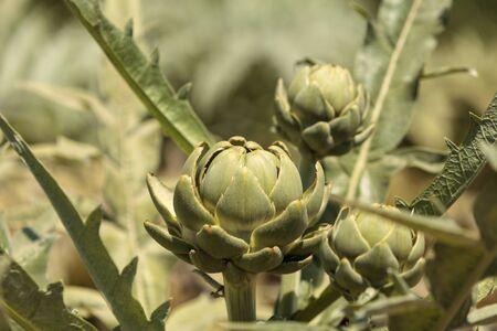 Green artichoke Cynara cardunculus grows tall in an organic garden