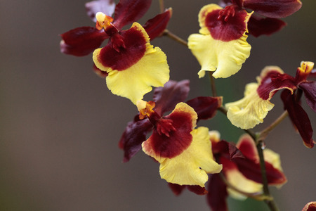 Yellow and maroon Oncidium orchid hybrid flowers grow in a botanical garden