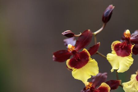 Yellow and maroon Oncidium orchid hybrid flowers grow in a botanical garden 免版税图像 - 82178196