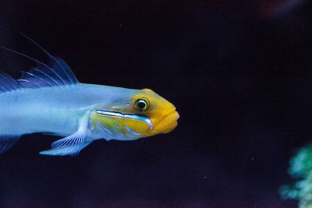 Sleeper Gold Head Goby fish Valenciennea strigata is found in the Indian Ocean and Pacific Ocean
