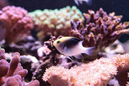 Fiji Yellow Head damsel Chrysiptera rollandi on a coral reef.