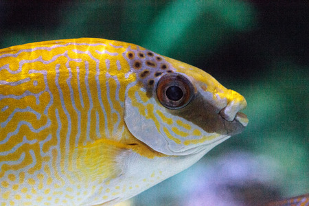 Masked Rabbitfish Siganus puellus is found in shallow coral reef lagoons
