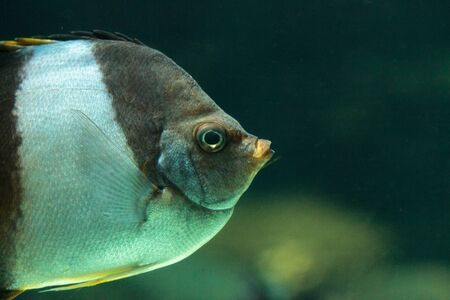 Brown and white butterflyfish Hemitaurichthys zoster is seen in the Indian Ocean Stock Photo