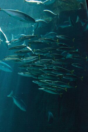 Pacific chub mackerel Scomber japonicus school together in a large aquarium with kelp Stok Fotoğraf