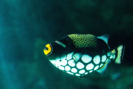 Clown triggerfish Balistoides conspicillum swims over a coral reef