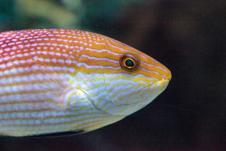 Purplelined wrasse Cirrhilabrus lineatus is found along the coral reefs of Australia and New Caledonia Stock Photo