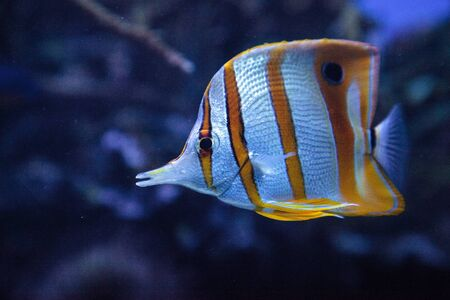 Copper-banded butterflyfish, Chelmon rostratus, picks at the corals on the reef