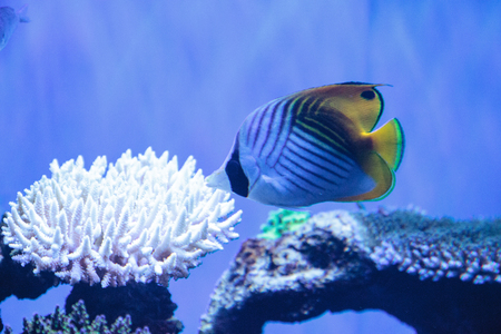indo: Raccoon butterflyfish Chaetodon lunula is found in the Indo-Pacific region. Stock Photo