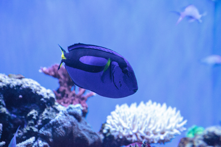 Palette tang fish, Paracanthurus hepatus, is also called the royal blue tang and can be found on a tropical reef in the ocean. Stock Photo